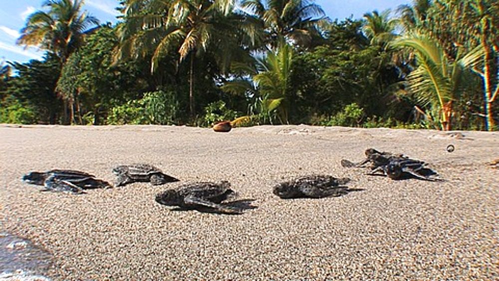 Leatherback Turtles (Dermochelys coriacea) hatchlings crawling across beach, Lae, Papua New Guinea