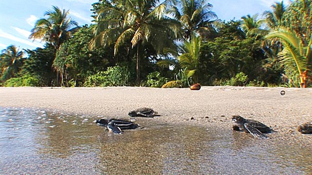 Leatherback Turtles (Dermochelys coriacea) hatchlings crawling across beach into water, Lae, Papua New Guinea