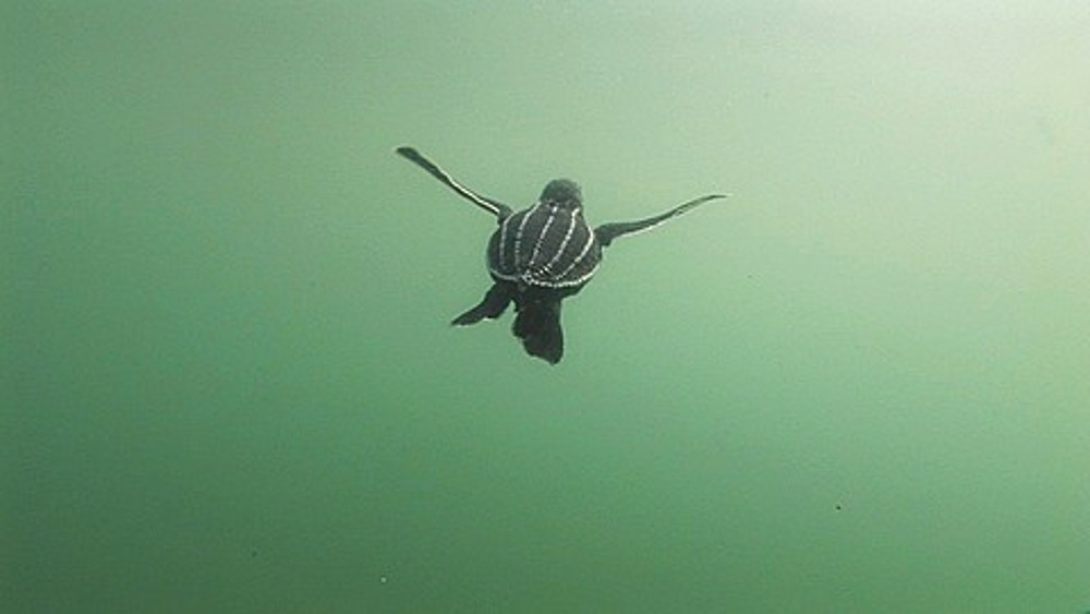 Leatherback Turtle (Dermochelys coriacea) swimming, Lae, Papua New Guinea
