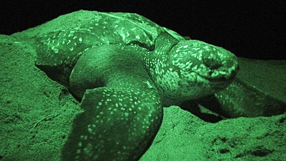 Leatherback Turtle (Dermochelys coriacea) Nesting at Night, Lae, Papua New Guinea