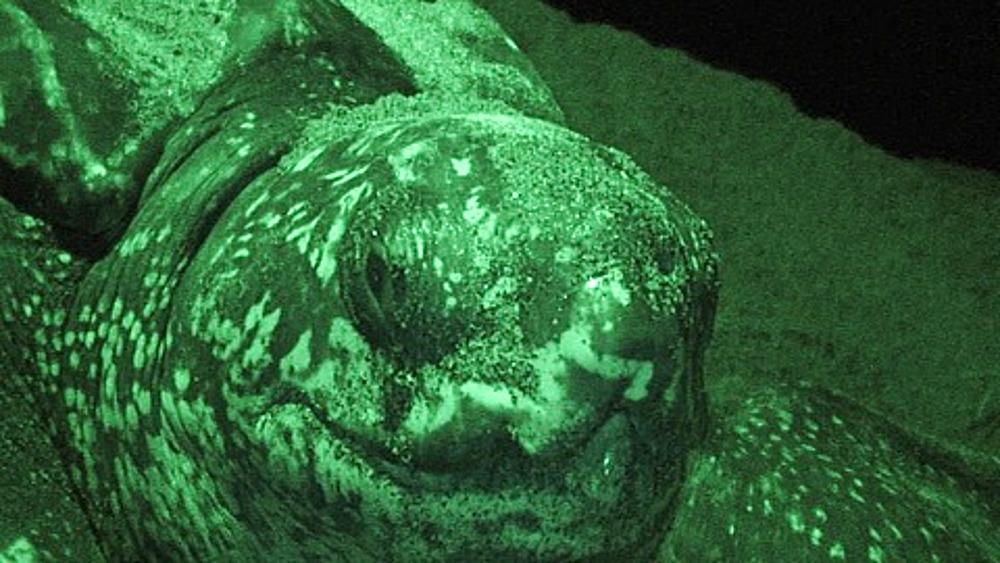 Close up Leatherback Turtle (Dermochelys coriacea) Nesting at Night, Lae, Papua New Guinea
