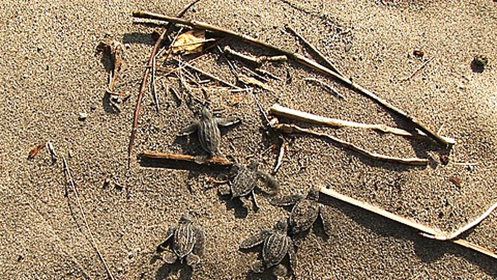 Leatherback Turtle (Dermochelys coriacea) hatchlings on crawling over beach, Lae, Papua New Guinea - 890-678