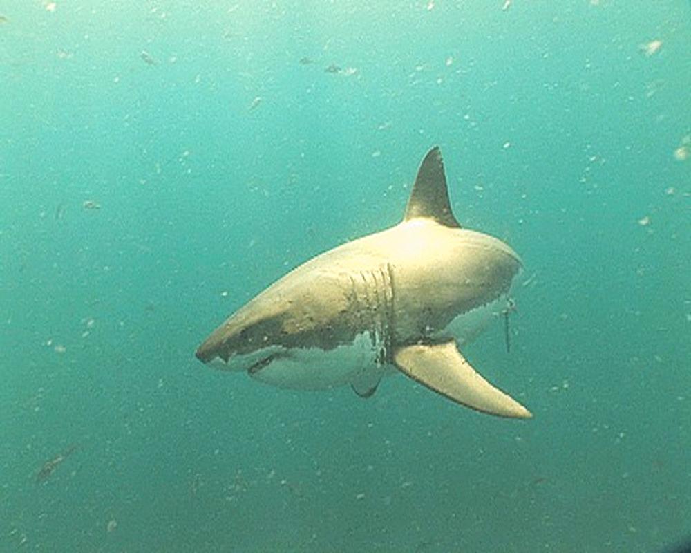 Great white shark (Carcharodon carcharius) swims through school of fish