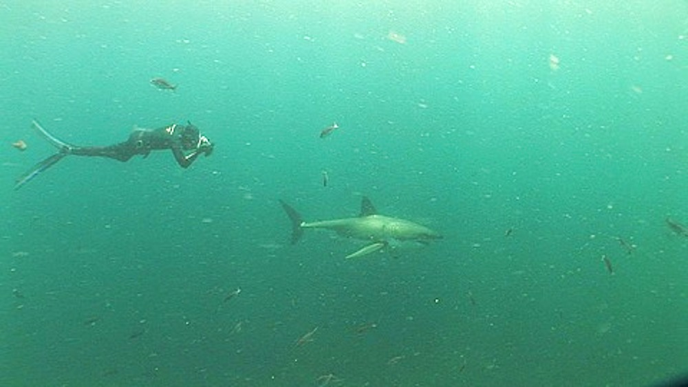 Great white shark (Carcharodon carcharius) swims through school of fish with free diver (not in cage)