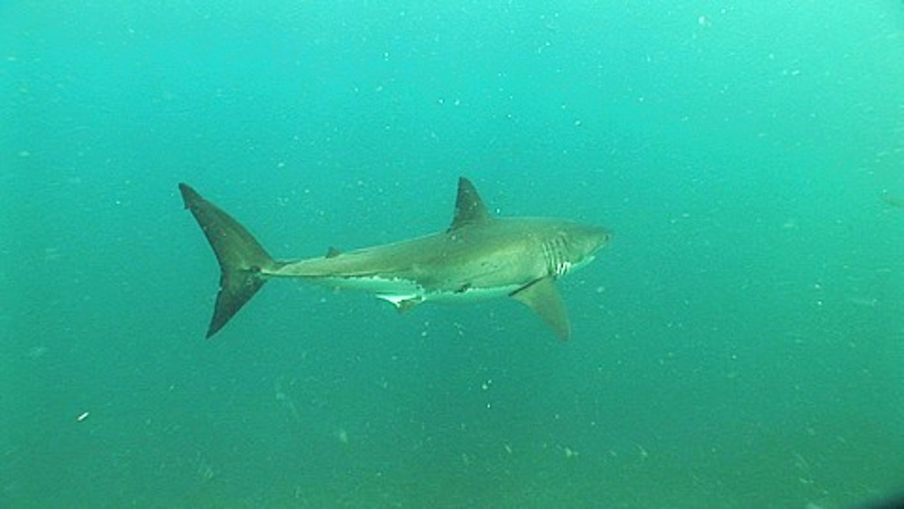 Great white shark (Carcharodon carcharius) swimming near the seabed