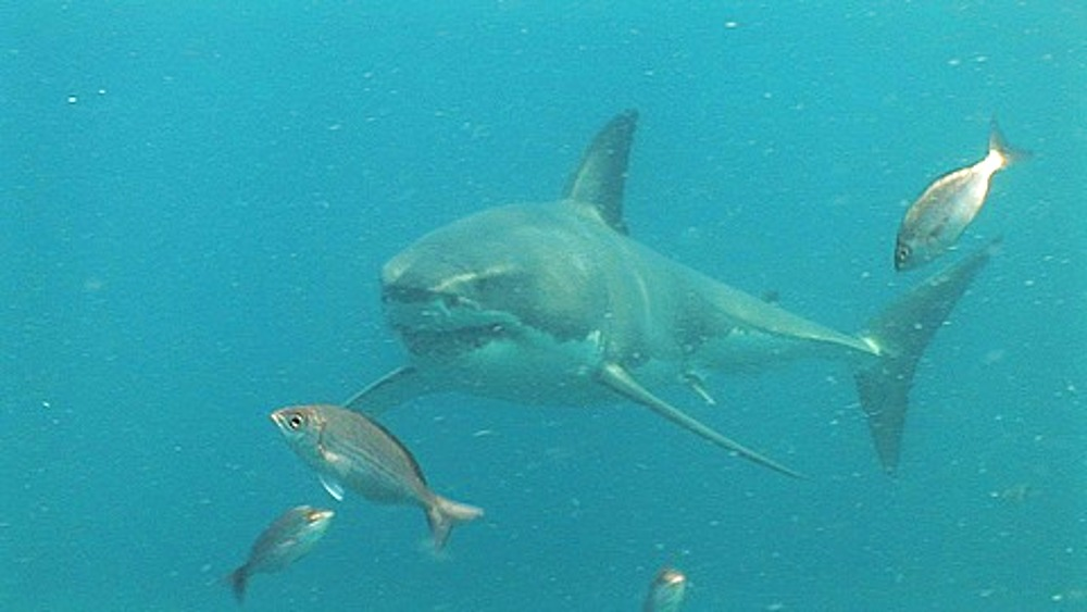 Great white shark (Carcharodon carcharius) swimming near the seabed, passed camera