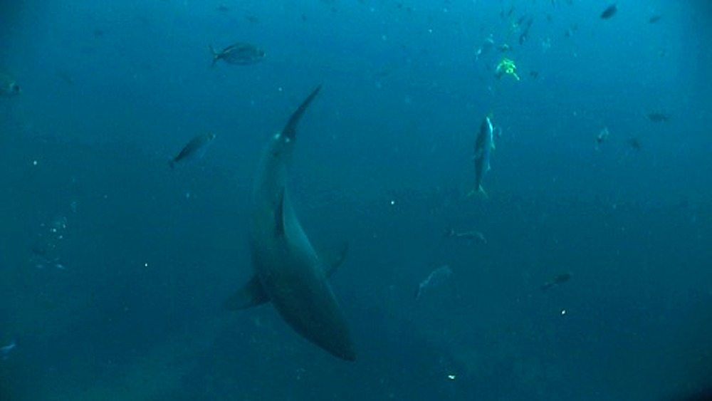 Great white shark (Carcharodon carcharius) with bait on line in view