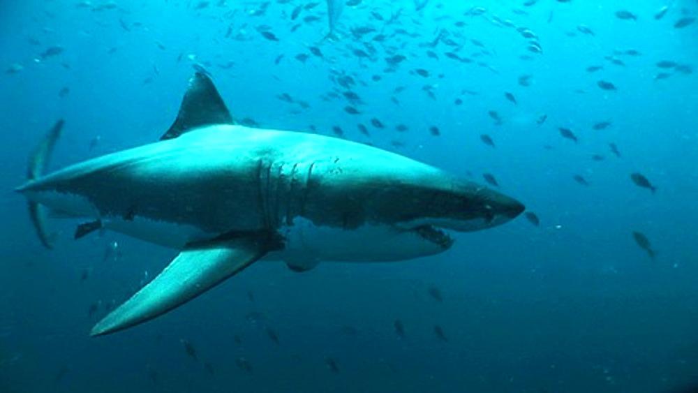 Great white shark (Carcharodon carcharius) swims passed camera