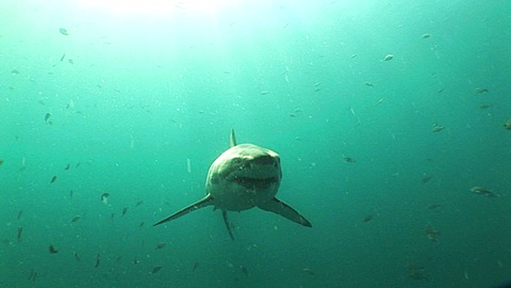 Great white shark (Carcharodon carcharius) swims straight at, and then over, the camera