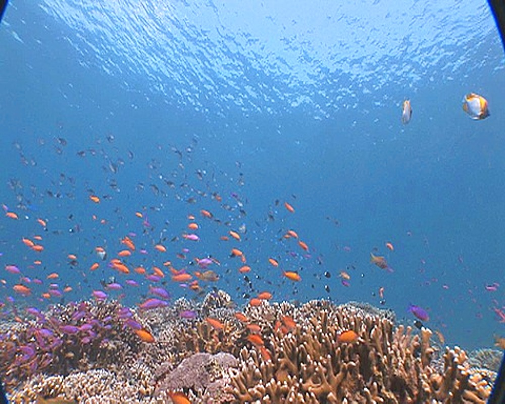 Fly over Coral Reef with Anthias (Pseudanthias squamipinnis), Sipadan, Malaysia, Borneo