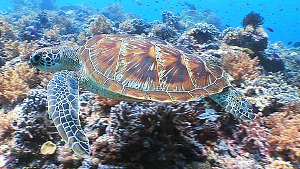 Hawksbill turtle, Erotmochelys imbricata, swims over reef, Sipadan, Malaysia