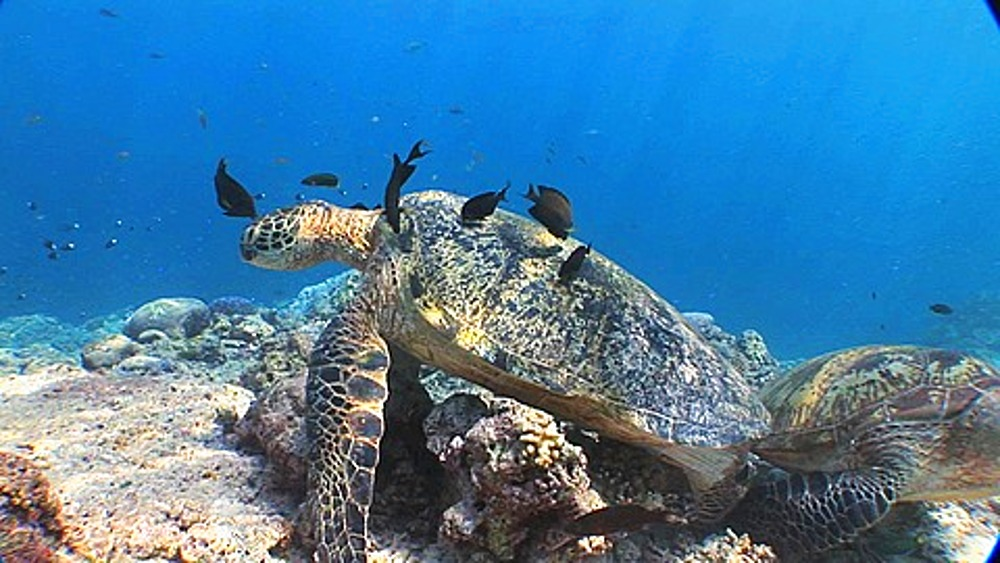 Surgeon fish cleaning Green Sea Turtles (Chelonia mydas), Sipadan, Borneo, Malaysia