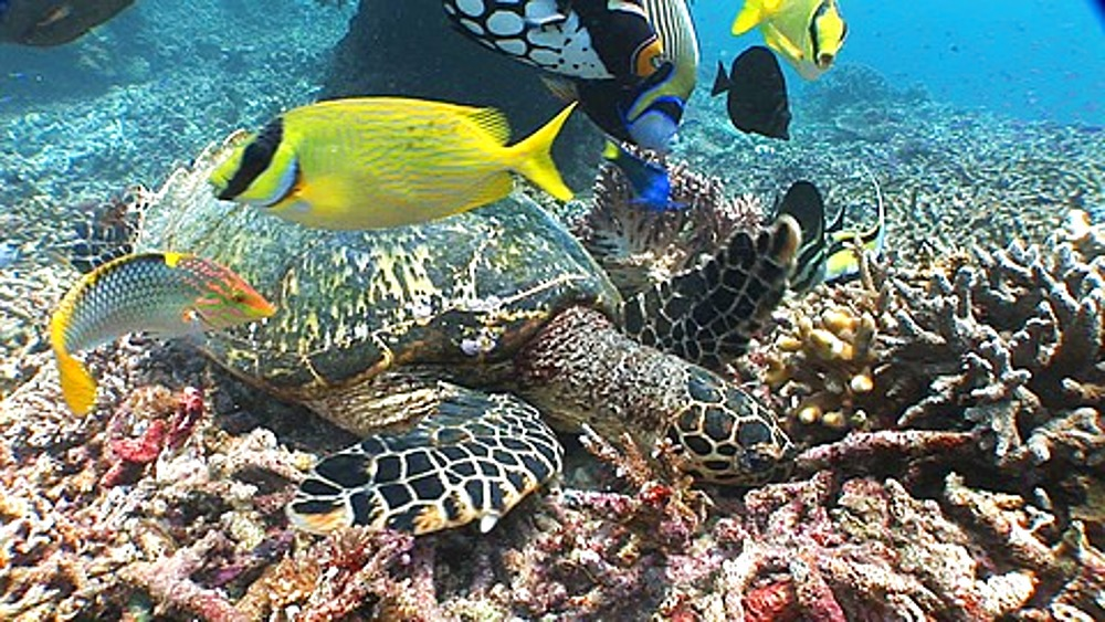 Green Sea Turtle, Chelonia mydas, on reef with fish, Sipadan, Borneo, Malaysia - 890-707