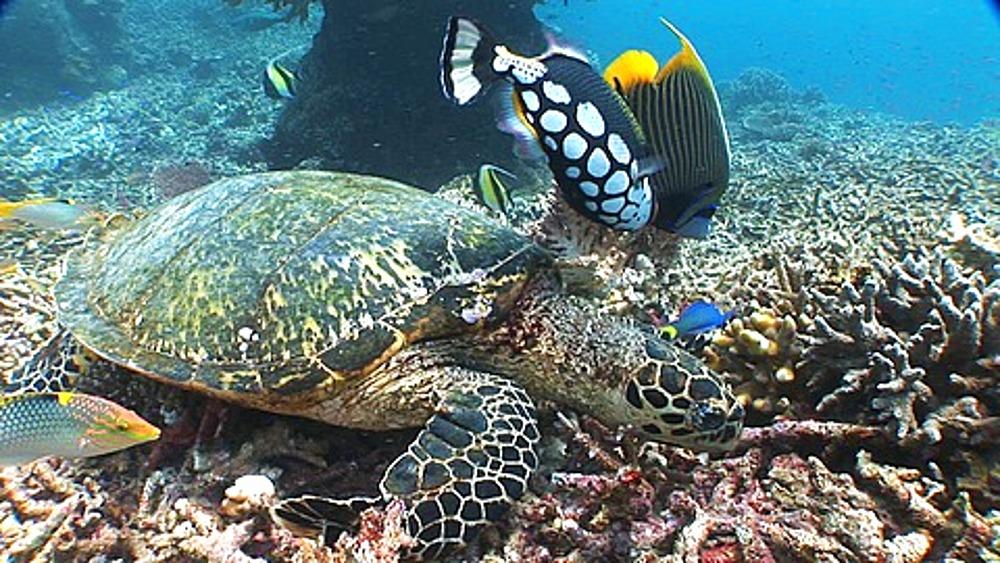 Green Sea Turtle, Chelonia mydas, on reef with fish, Sipadan, Borneo, Malaysia - 890-708