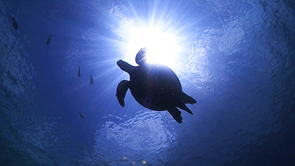 Hawksbill Turtle (Eretmochelys imbricata) silhouetted against sun at surface, Sipadan, Borneo - 890-713