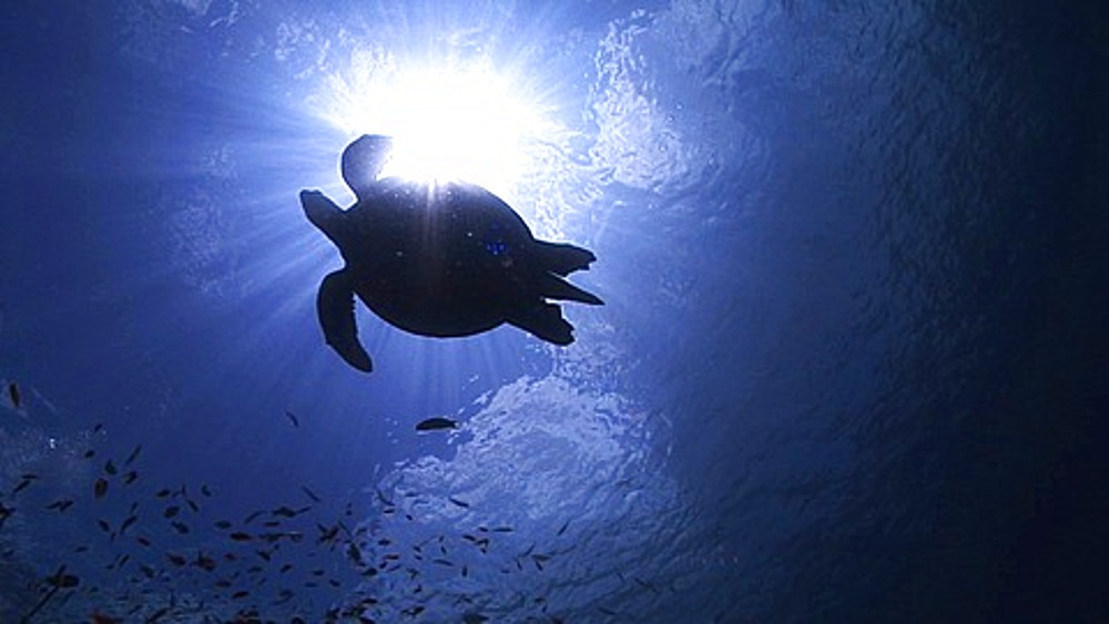 Hawksbill Turtle (Eretmochelys imbricata) silhouetted against sun at surface, Sipadan, Borneo - 890-714