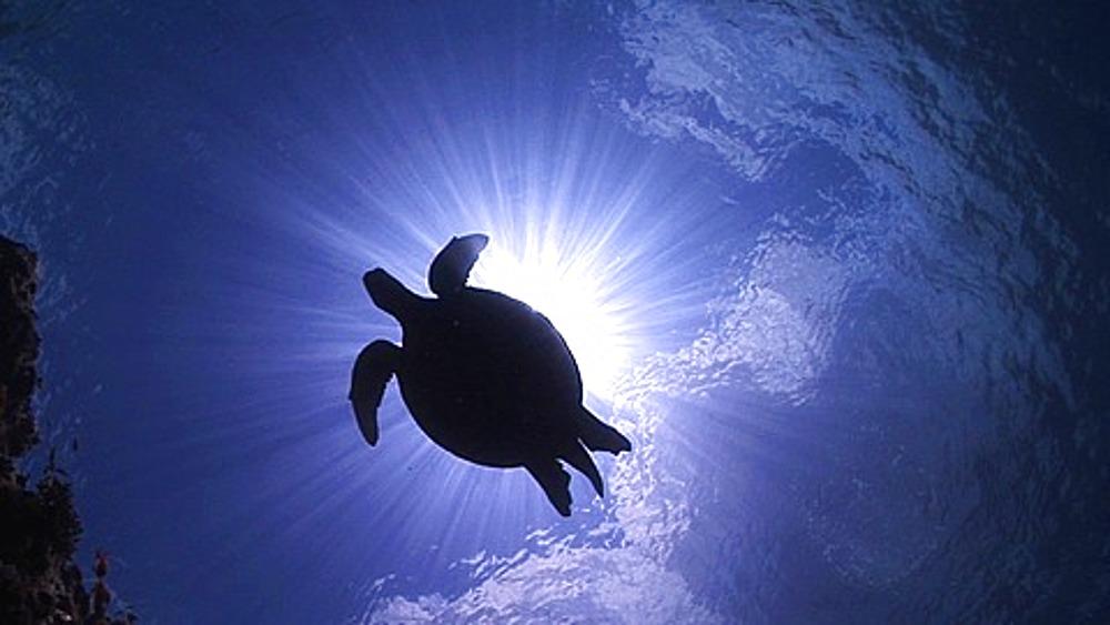 Hawksbill Turtle (Eretmochelys imbricata) silhouetted against sun at surface, Sipadan, Borneo