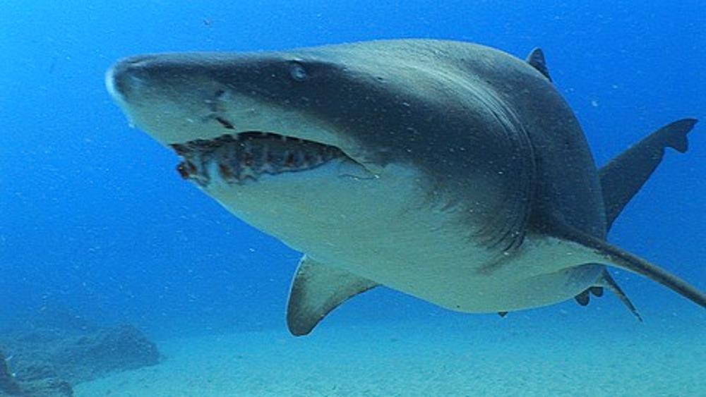 Sand Tiger Shark (Eugomphodus Taurus) or Ragged Tooth shark swimming towards camera, Sodwana, South Africa