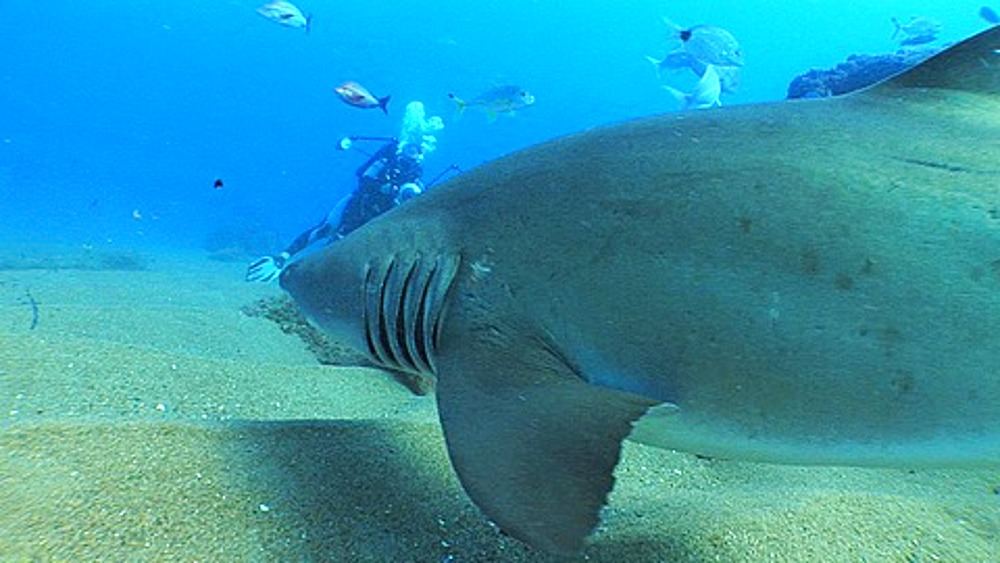 Sand Tiger (Eugomphodus Taurus) or Ragged Tooth Shark, approaching diver taking photos, Sodwana, South Africa