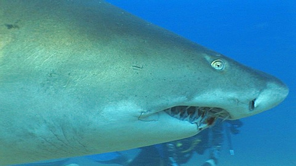 Sand Tiger (Eugomphodus Taurus) or Ragged Tooth Shark swimming to camera and through frame, with diver in background. Sodwana, South Africa