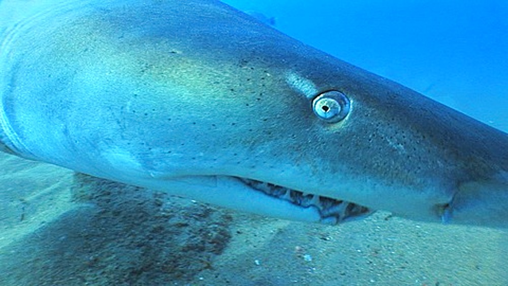 Sand Tiger (Eugomphodus Taurus) or Ragged Tooth Shark swimming through frame and then hits camera