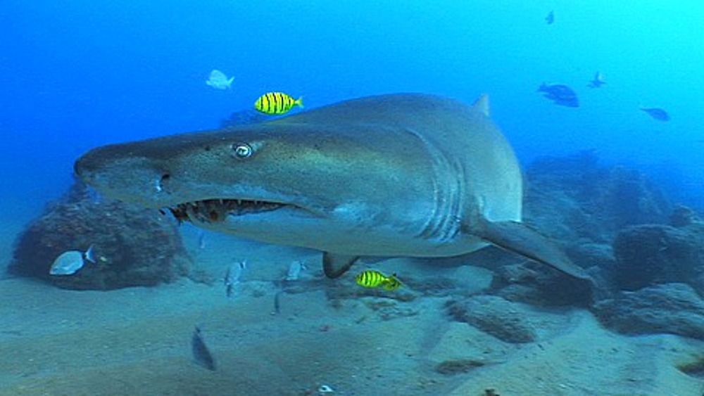 Sand Tiger (Eugomphodus Taurus) or Ragged Tooth Shark and Golden Trevally (Gnathanodon speciosus) swimming towards camera. Sodwana, South Africa - 890-734