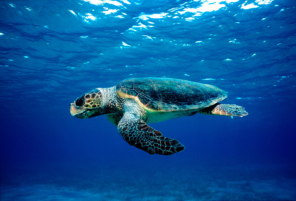 Loggerhead turtle (Caretta caretta) underwater, species endangered globally, but can be observe in the Mediterranean Sea both close to and remote from nesting sites, Kythira Sea, Greece.