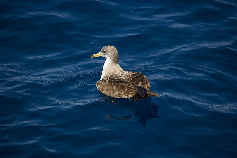 Cory's Shearwater (Calonectris diomeda) at surface. Greece, Eastern Med.
