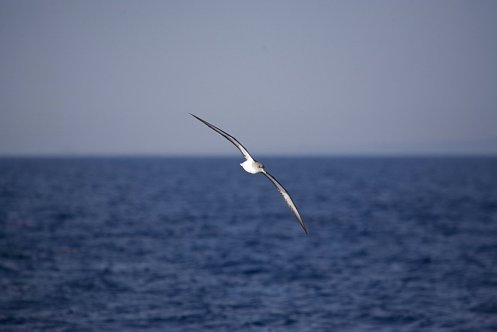 Cory's Shearwater (Calonectris diomeda)  flying. Greece, Eastern Med.