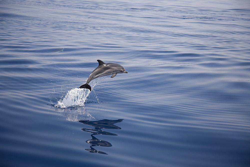 Striped dolphin (Stenella coeruleoalba) leaping. Greece, Eastern Med. - 906-28