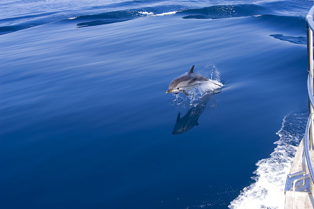 Striped dolphin (Stenella coeruleoalba) leaping alongside boat, although the most abundant dolphin species in pelagic waters of the Mediterranean Sea the population is listed as vulnerable, North Aegean Sea, Greece.   (RR) - 906-3
