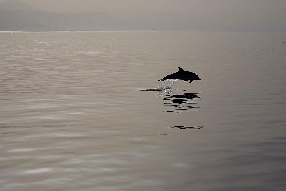 Striped dolphin (Stenella coeruleoalba) leaping. Greece, Eastern Med. - 906-31
