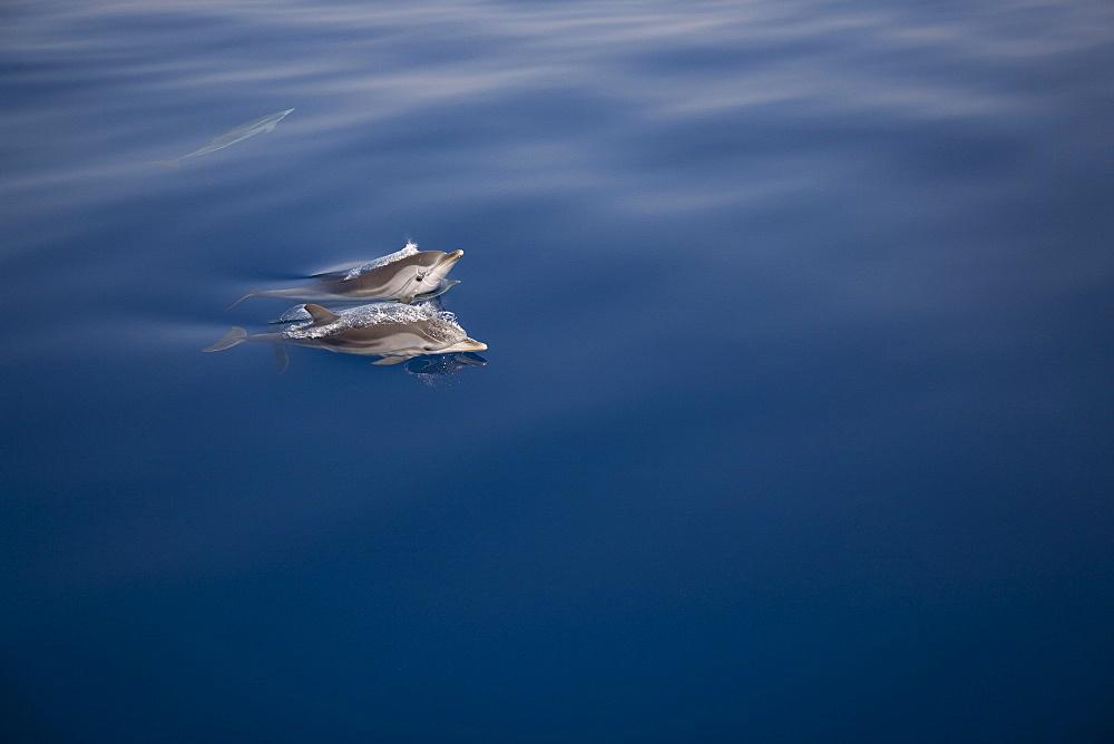 Striped dolphins (Stenella coeruleoalba) breaking the surface. Greece, Eastern Med. - 906-33