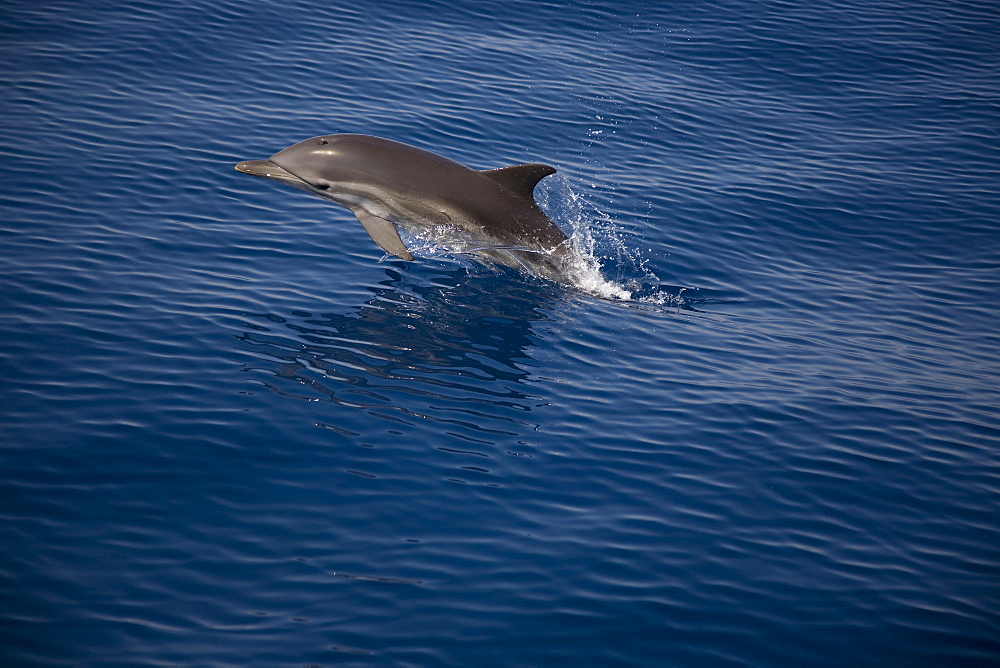 Striped x Common dolphin hybrid. Greece, Eastern Med. - 906-35