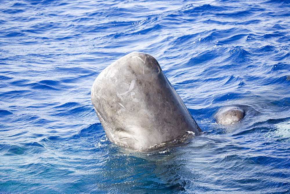 "Sperm whale (Physeter macrocephalus) in ""head-out"" position viewed from the side. This vertical position is used in socialising and when approached by a vessel, may provide a better 3D vision of an object. Endangered, Ionian Sea, Greece."
