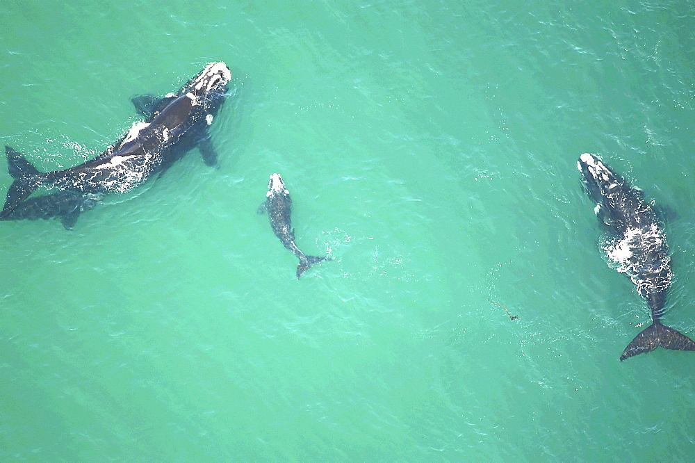 Southern right whales. parents  and calf. The Cape, South Africa - 907-1