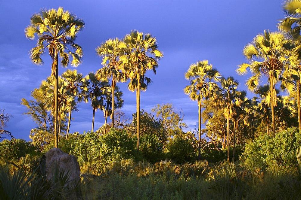 Evening light on Palm Trees after thunderstorm. Okavango Delta, Botswana - 907-26