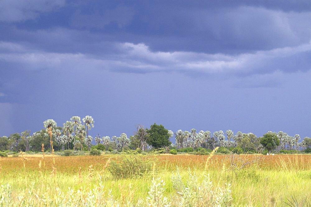 Black thunderstorm clouds as backdrop. Okavango Delta, Botswana - 907-27