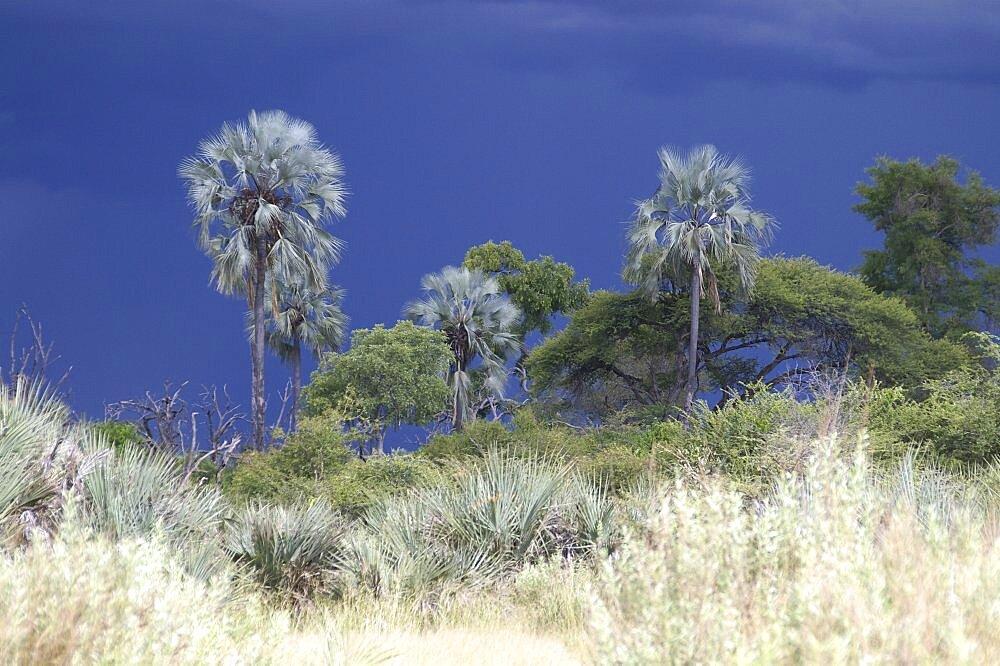 Black thunderstorm clouds as backdrop. Okavango Delta, Botswana - 907-28