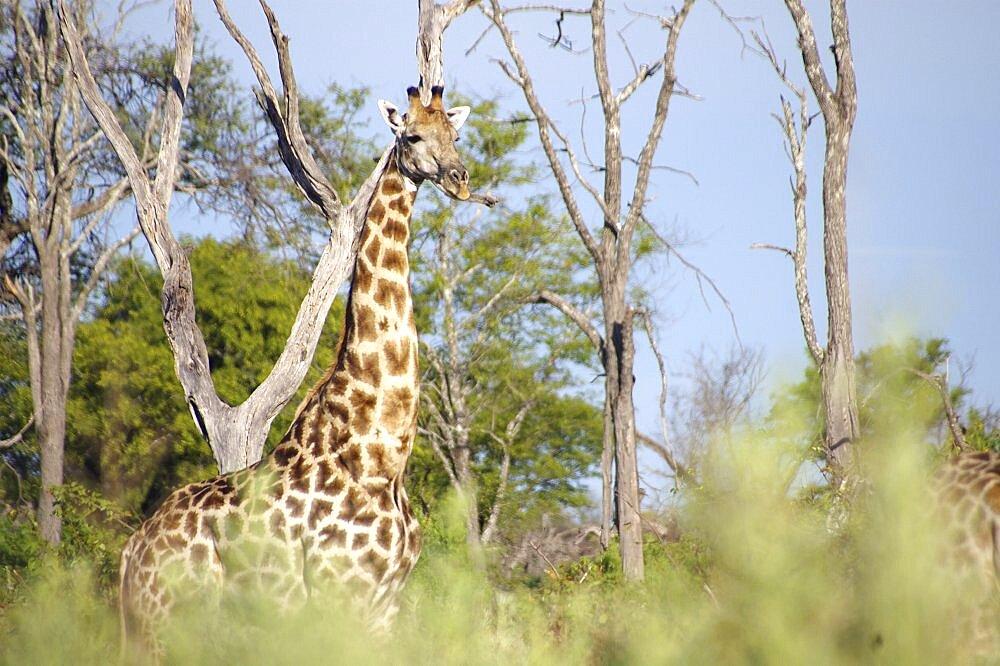 Giraffe. Okavango Delta, Botswana - 907-29