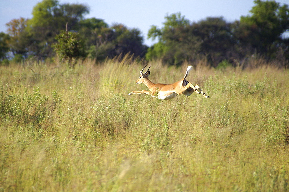 Impala in full flight. Okavango Delta, Botswana
