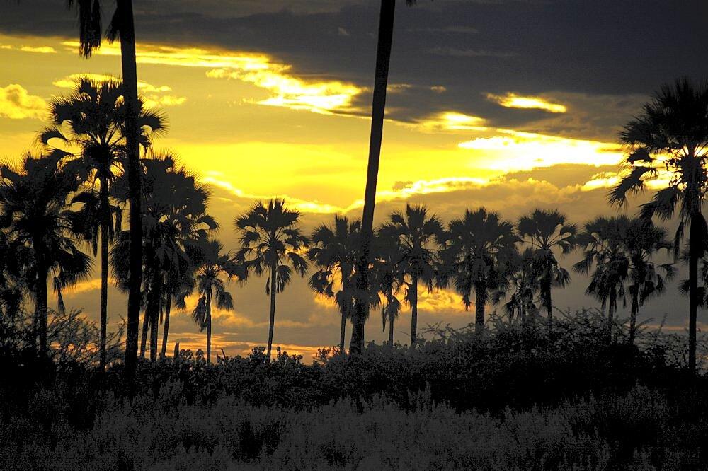 Sunset through Palm Trees. Okavango Delta, Botswana - 907-31