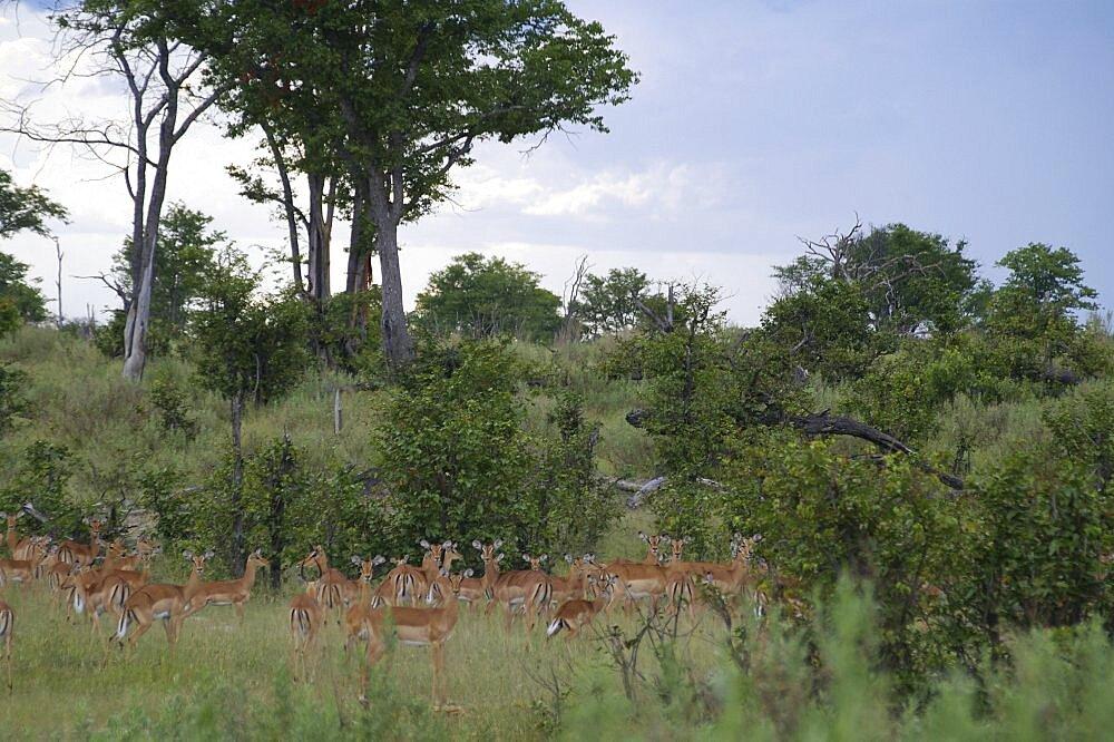 Impala. Okavango Delta, Botswana