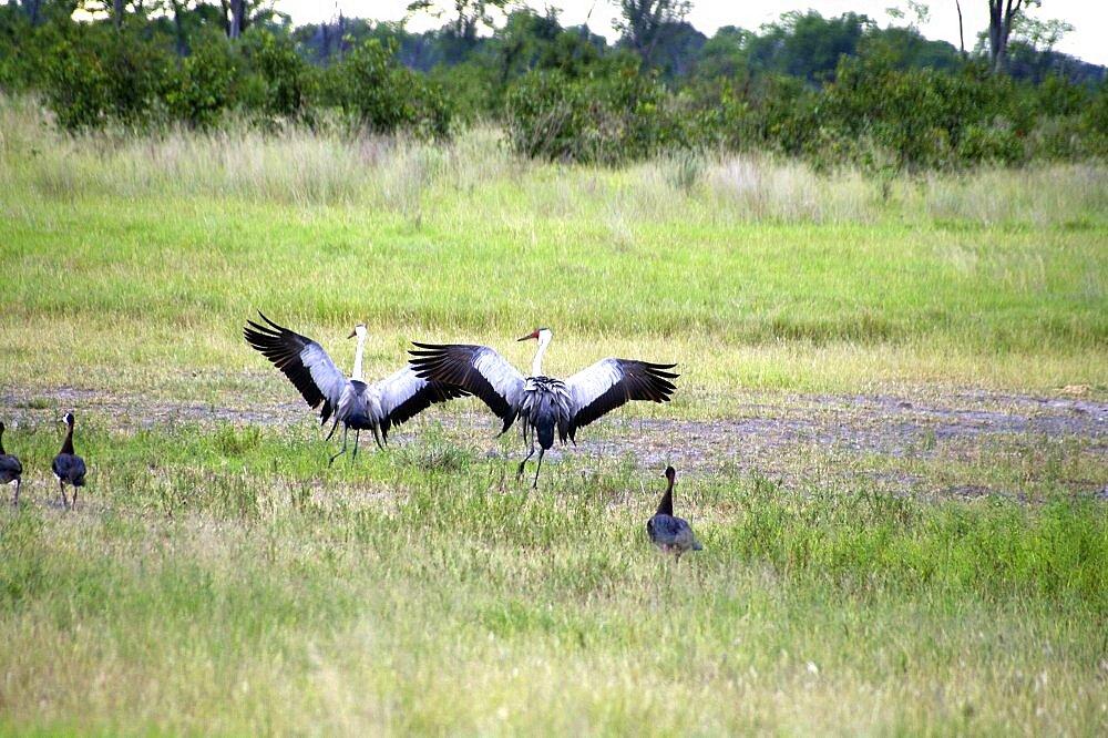 Wattle Cranes mating dance. Okavango Delta, Botswana - 907-33