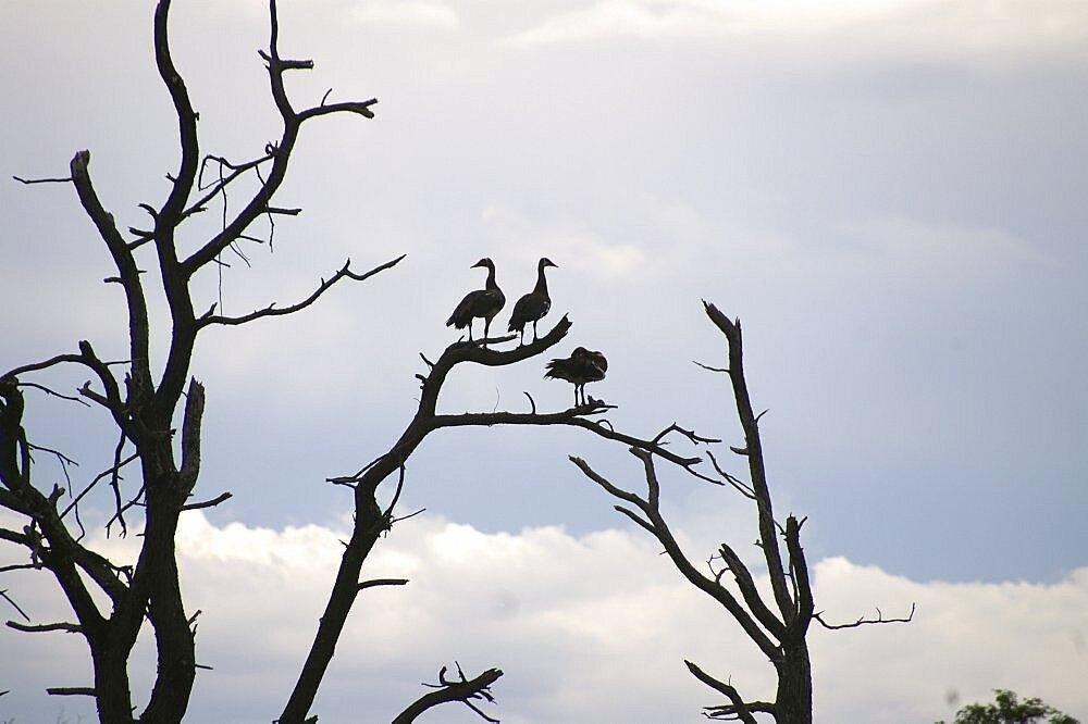Egyptian Geese roosting at nightfall. Okavango Delta, Botswana - 907-34