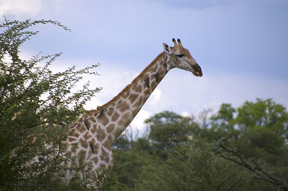 Giraffe. Okavango Delta, Botswana - 907-35