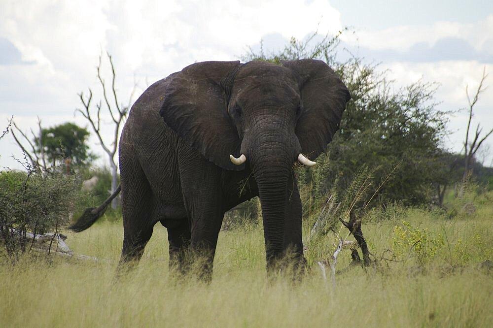 Elephant. Okavango Delta, Botswana - 907-36