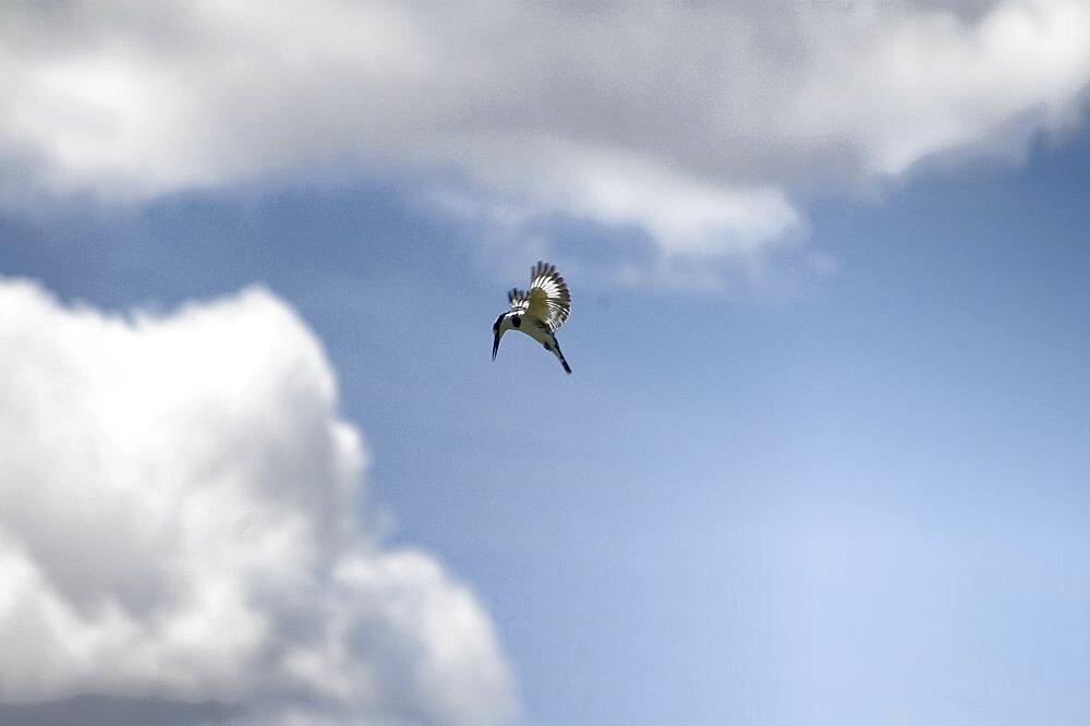 Pied Kingfisher. Okavango Delta, Botswana - 907-37