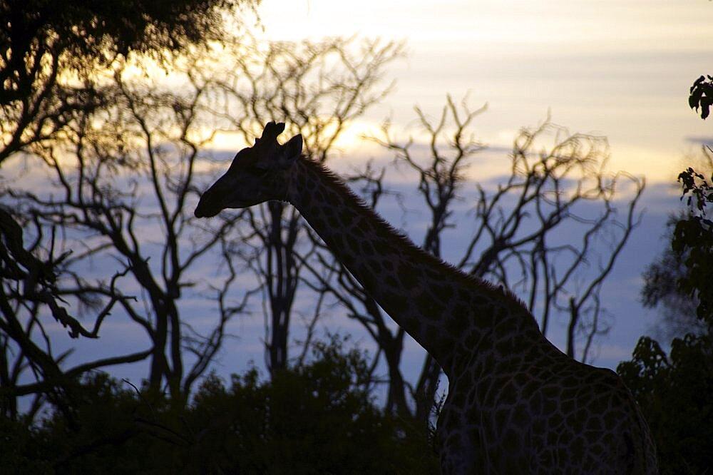 Giraffe. Okavango Delta, Botswana - 907-38
