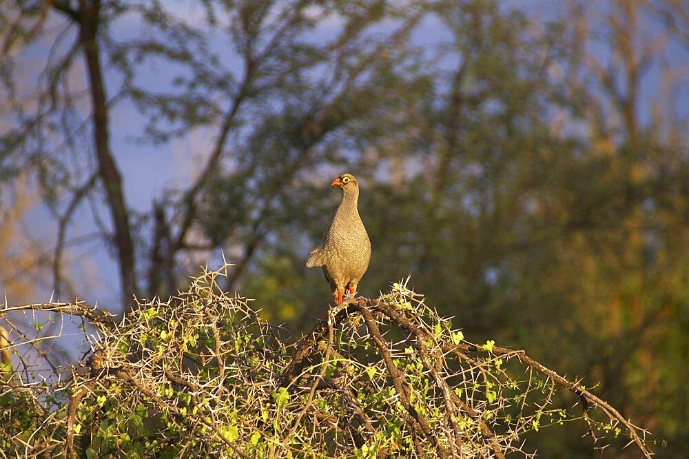 Francolin. Okavango Delta, Botswana - 907-39